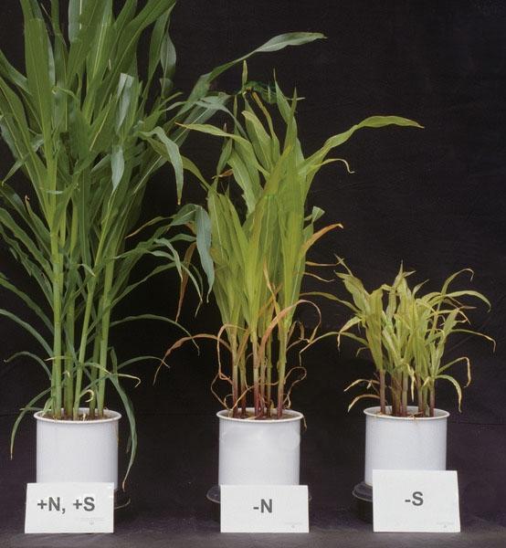 kukurydza niedobór azotu