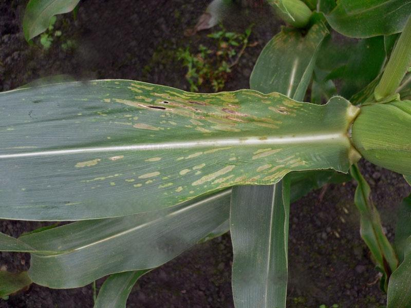 niedobór manganu u kukurydzy 5
